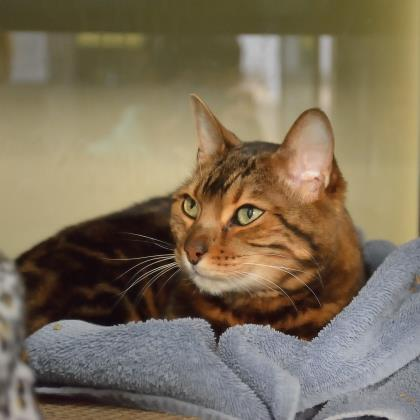 Cats for Adoption – Cochrane & Area Humane Society